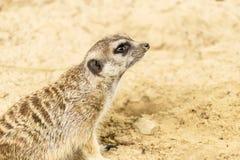 Meerkat. Suricata suricatta. Stock Image
