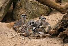 Meerkat Suricata suricatta rodzina Obrazy Royalty Free