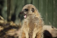 Meerkat (Suricata suricatta) shows his teeth Stock Photo