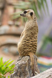 Meerkat (Suricata suricatta) Stock Photos