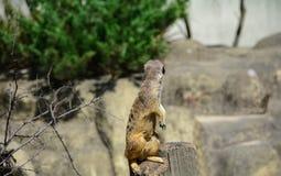 Meerkat or Suricata suricatta sitting on a stump turned away royalty free stock images