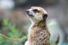Meerkat, suricata suricatta Stock Photos