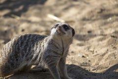 Meerkat (Suricata suricatta). Spotted outdoors in the wild Royalty Free Stock Image