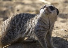 Meerkat (Suricata suricatta). Spotted outdoors in the wild Royalty Free Stock Photography