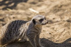 Meerkat (Suricata suricatta). Spotted outdoors in the wild Stock Image