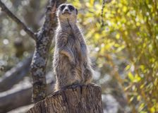 Meerkat (Suricata suricatta). Spotted outdoors in the wild Royalty Free Stock Photos
