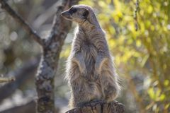 Meerkat (Suricata suricatta). Spotted outdoors in the wild Royalty Free Stock Images