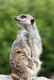 Meerkat (Suricata Suricatta) standing Royalty Free Stock Photo