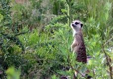Meerkat Suricata suricatta Royalty Free Stock Photography