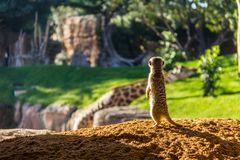 A meerkat suricata standing on the ground in backlit. There`s a giraffe in the background. A meerkat, suricata suricatta, standing on the ground in backlit royalty free stock photo