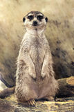 Meerkat (Suricata suricatta) standing looking at the camera Royalty Free Stock Photos