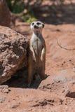 Meerkat, Suricata suricatta, standing watchfull. Meerkat, Suricata suricatta, standing on rocky surface,with sunlight, and sand surface background royalty free stock photo