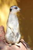 Meerkat Suricata. Suricatta /Meerkat/ stending on guard Royalty Free Stock Photo