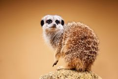 Meerkat or Suricata suricatta. The Meerkat or Suricate - Suricata suricatta - is a small carnivoran belonging to the mongoose family. Meerkats live in all parts royalty free stock photo