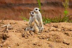 Meerkat Suricata suricatta Royalty Free Stock Image