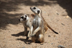 Meerkat (Suricata suricatta) Royalty Free Stock Photo