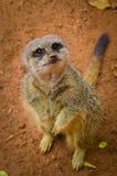 Meerkat Suricata suricatta w zoo Zdjęcia Stock