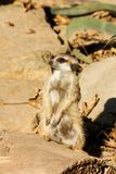 Meerkat suricata suricatta. Meerkat watching and guarding nearby Royalty Free Stock Image