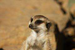 Meerkat suricata suricatta. Meerkat watching and guarding nearby Stock Photography