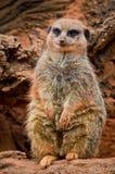 Meerkat Suricata suricatta in zoo Stock Image