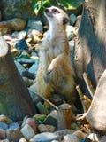 Meerkat (Suricata-suricattaiona) Stock Afbeelding