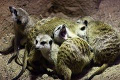 Meerkat Suricata ziarna zarówno jak i insekty, także znać, jeden cukierki ziewa gdy meerkats śpią wpólnie w rozsypisku zdjęcia royalty free
