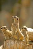 Meerkat (suricatasuricata) 11 Arkivfoto