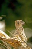 Meerkat (suricatasuricata) 21 Arkivfoton