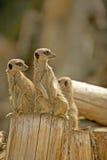 Meerkat (suricatasuricata) 25 Arkivbild