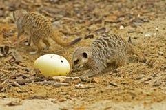 Meerkat (suricatasuricata) 29 Arkivfoton