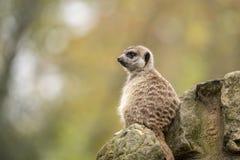 Meerkat Suricatasuricatta _ royaltyfria foton