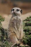 Meerkat - Suricatasuricatta Arkivbilder