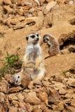 Meerkat Suricatasuricatta Arkivbilder