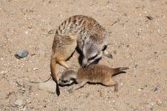 Meerkat (Suricatasuricatta) royaltyfria bilder