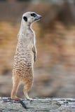 Meerkat - Suricatasuricatta Royaltyfri Bild