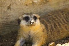 Meerkat (Suricatasuricatta) royaltyfria foton
