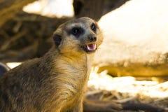 Meerkat (Suricatasuricatta) royaltyfri fotografi