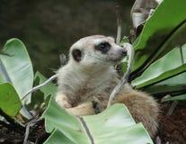 Meerkat (Suricatasuricatta) Arkivfoton
