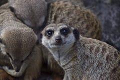 Meerkat Suricatasuricatta Royaltyfria Bilder