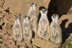 Meerkat Suricatasuricatta och att observera omgivning Arkivbilder