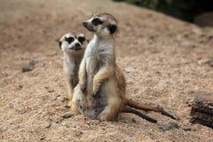 Meerkat (Suricatasuricatta), också som är bekant som suricaten royaltyfria bilder