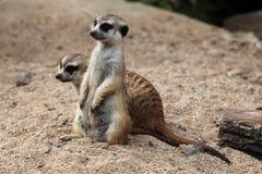 Meerkat (Suricatasuricatta), också som är bekant som suricaten arkivfoto