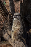 Meerkat Suricatasuricatta på journal royaltyfri fotografi