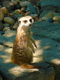 Meerkat (Suricatasuricattaiona) Arkivfoto