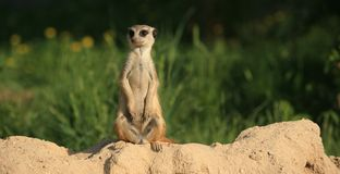 Meerkat (suricate). A single meerkat (suricate) standing in a zoo Stock Image