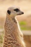 Meerkat (suricate) Stock Image