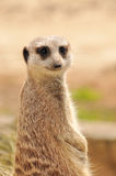 Meerkat (suricate) Stock Photo