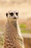 meerkat suricate Zdjęcie Stock
