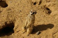 meerkat suricate Στοκ φωτογραφία με δικαίωμα ελεύθερης χρήσης