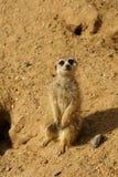 meerkat suricate 库存图片